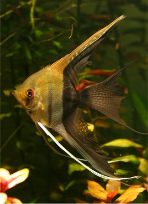 Half Black Angelfish Saltwater